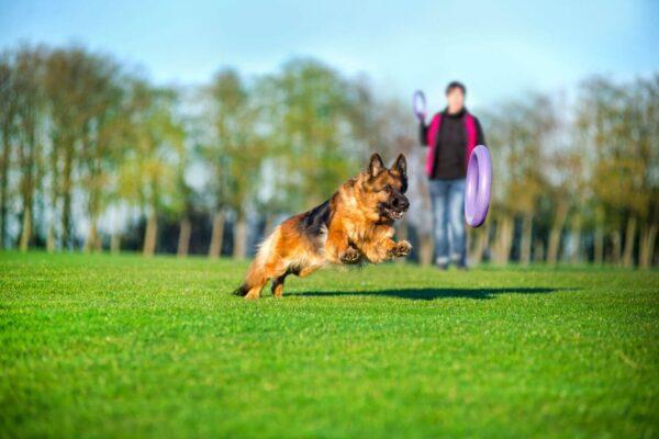 אביזר אימון לכלבים פולר סטנדרט - Puller Standard_06