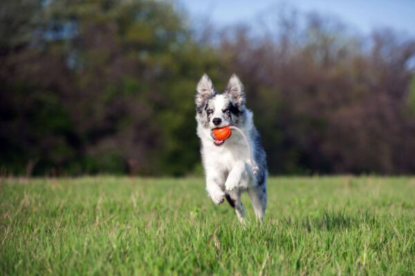 כדור עם חוט לעידוד משחק לכלבים מגזעים קטנים - LIKER 5 Cord - 2