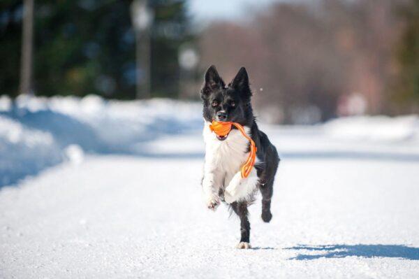 כדור עם רצועה לעידוד משחק לכלבים מגזעים בינוניים - LIKER Line 5 - 4
