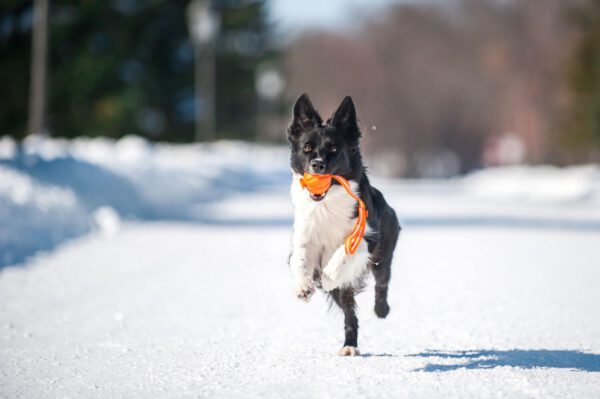 כדור עם רצועה לעידוד משחק לכלבים מגזעים בינוניים - LIKER Line 7 - 4