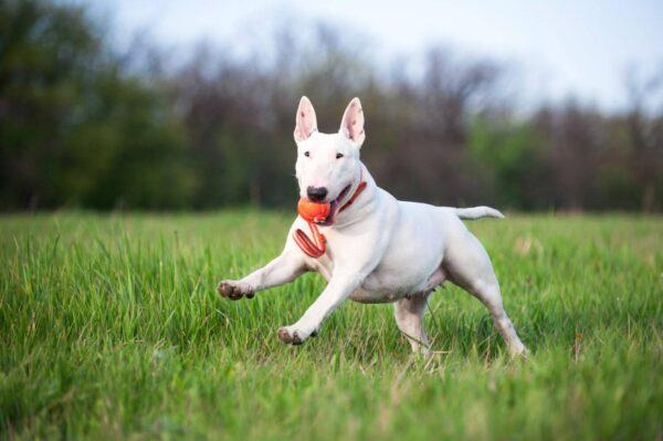 כדור עם רצועה לעידוד משחק לכלבים מגזעים בינוניים - LIKER Line 9 - 3